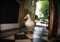 Crispie duck_JPG_display